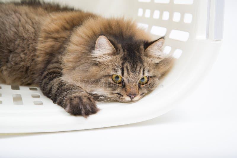 Sluit omhoog de slaap van de Perzische kat binnen de mand royalty-vrije stock foto's