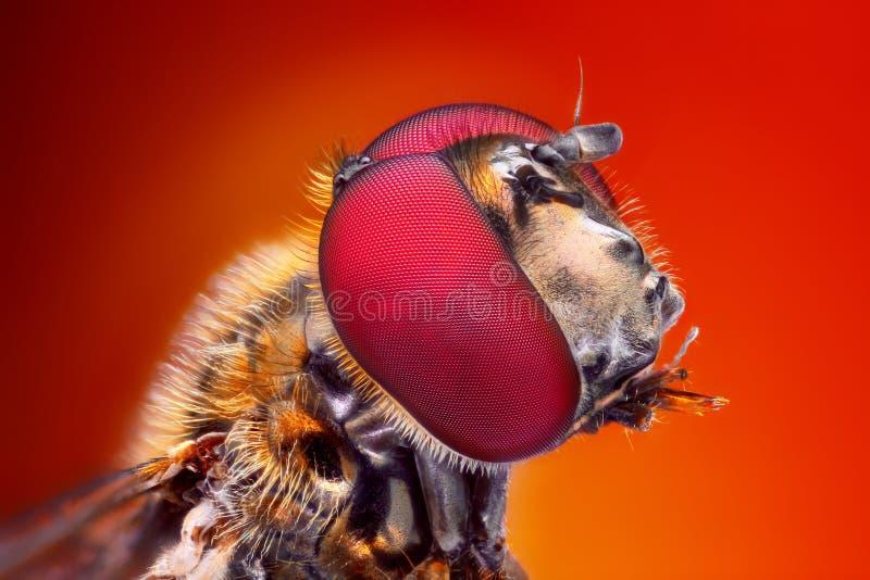 Studio molto tagliente e dettagliato sulla testa di Hoverfly impilato da molte immagini in una foto molto tagliente fotografia stock