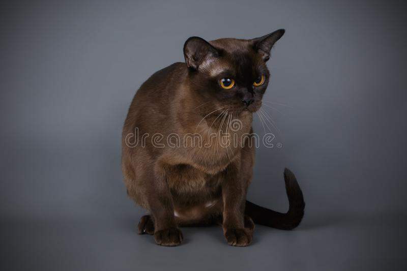 Burmese cat on colored backgrounds stock photos