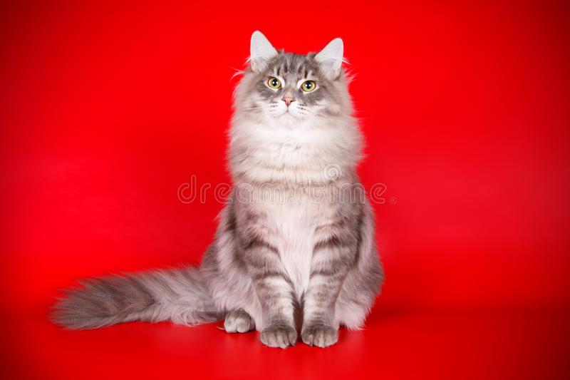Siberian cat on colored backgrounds. Studio photography of a siberian cat on colored backgrounds stock photo