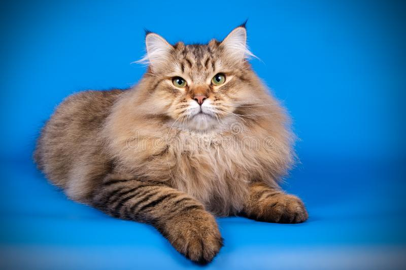 Siberian cat on colored backgrounds royalty free stock photos