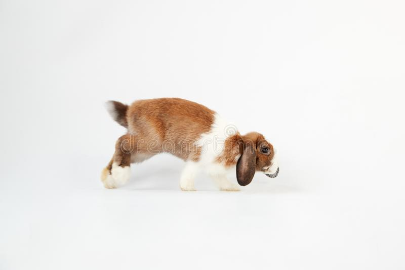 Studio Portrait av Miniature Brown and White Flop Eared Rabbit Hopping över vit bakgrund arkivfoto
