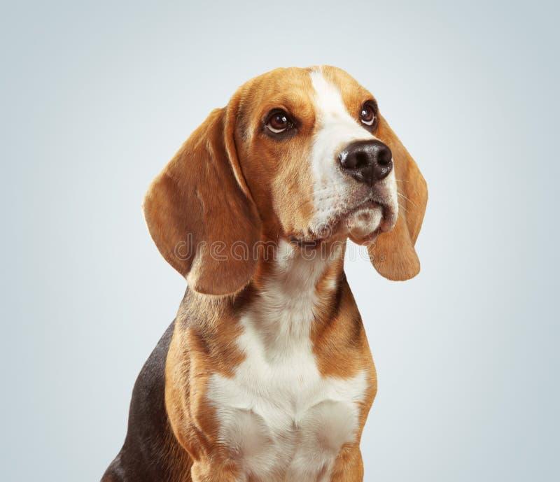 Studio portrait of beagle dog over light gray background stock images