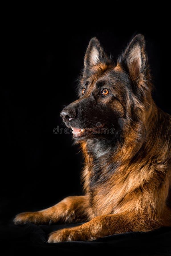 Studio portrait beautiful german shepherd dog royalty free stock image