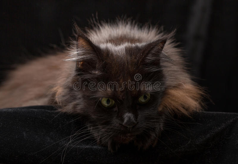 Studio Portrait of a beautiful Maine Coon Cat. Against Black Background. Can be used for Halloween stock image
