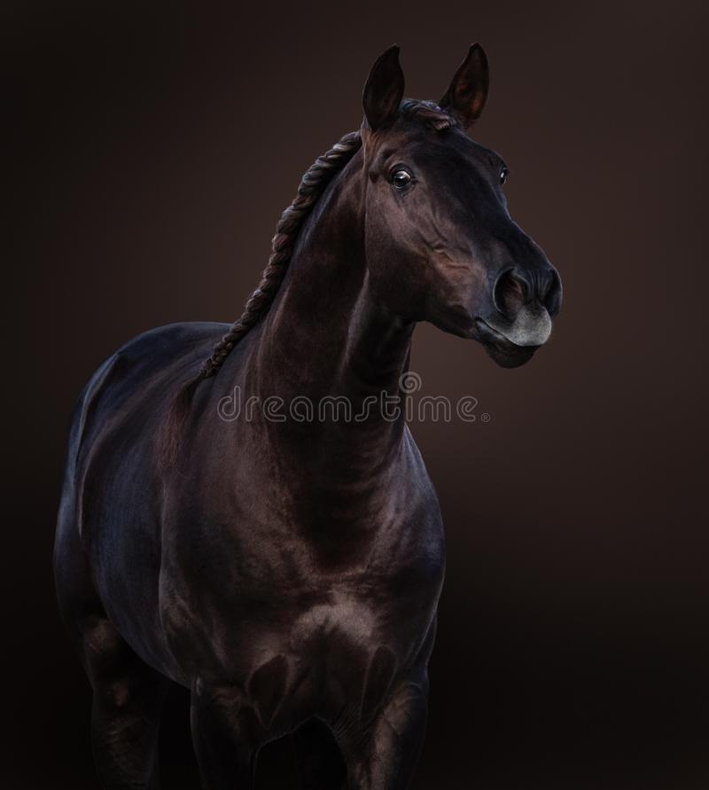 Studio portrait of broun Lusitano horse on dark brown background. Broun Lusitano horse on dark brown background. Close-up studio portrait royalty free stock photos