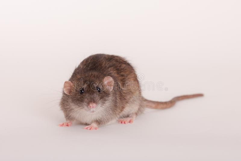 Brown domestic rat. Studio portrait of a brown domestic rat royalty free stock photography