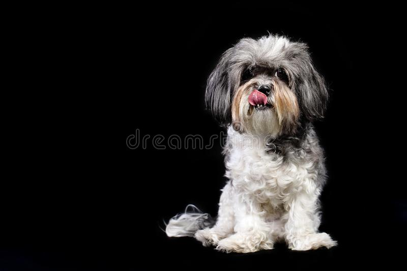 Studio portrait of a cute grey, black and white Bichon Havanese dog licking its lips against black background. Space for text stock photo