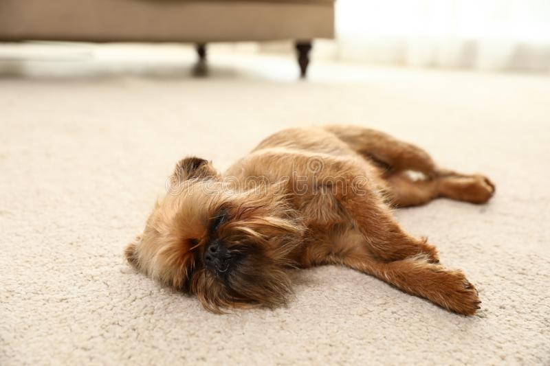 Studio portrait of funny Brussels Griffon dog sleeping on carpet stock image
