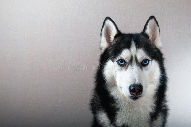 Studio portrait husky dog with stock images