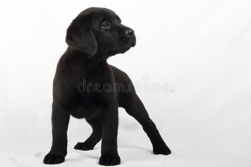 Download Studio Portrait Of A Labrador Puppy Stock Photo - Image: 15870512