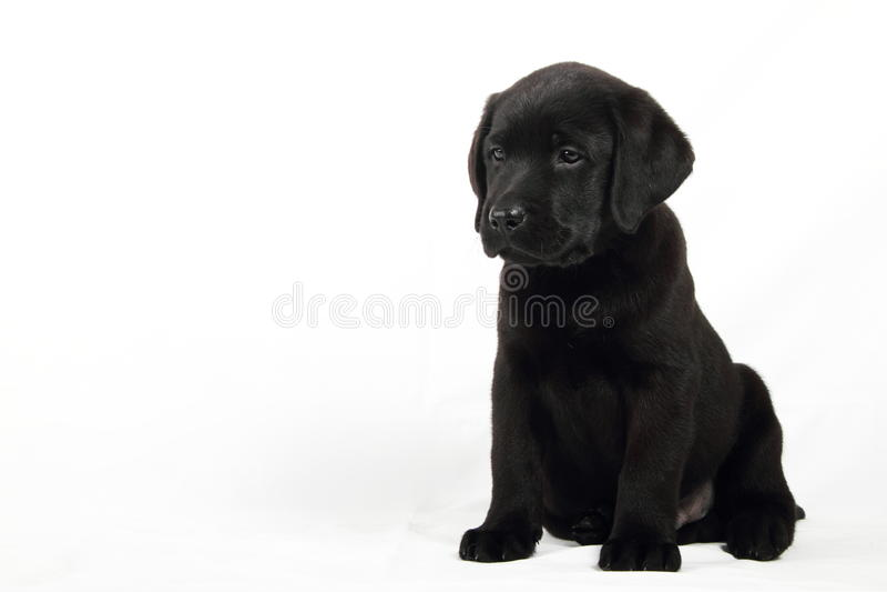 Download Studio Portrait Of A Labrador Puppy Stock Image - Image: 15870579
