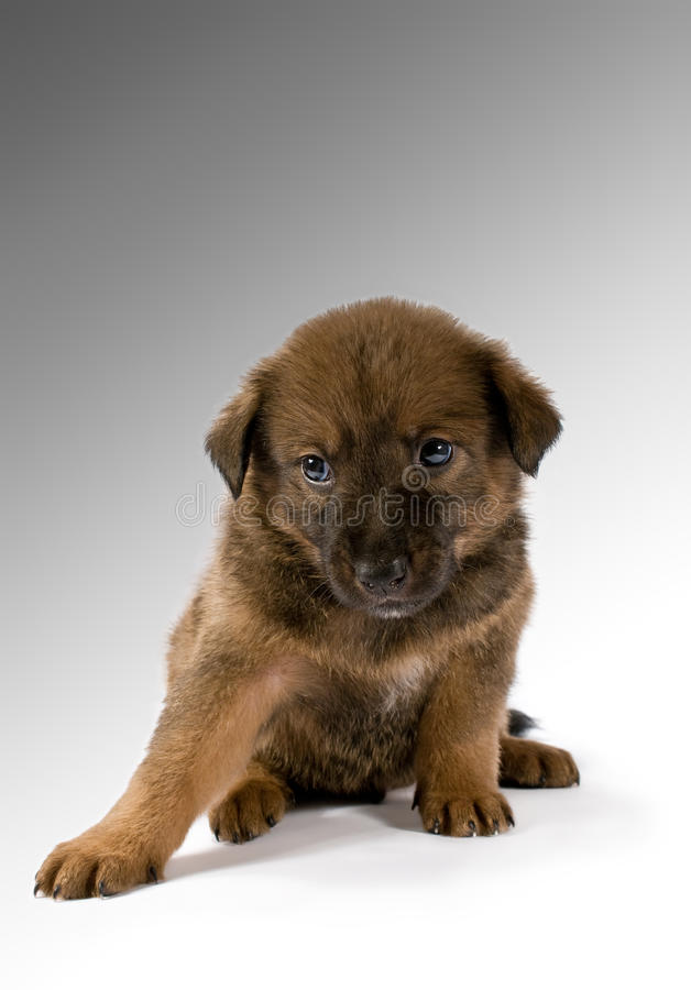 Download Studio Portrait Of A Young Puppy Stock Photo - Image: 26826438