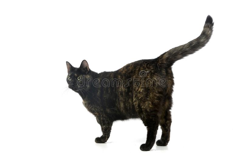 Studio shot of an adorable domestic cat. Standing on white background stock photos