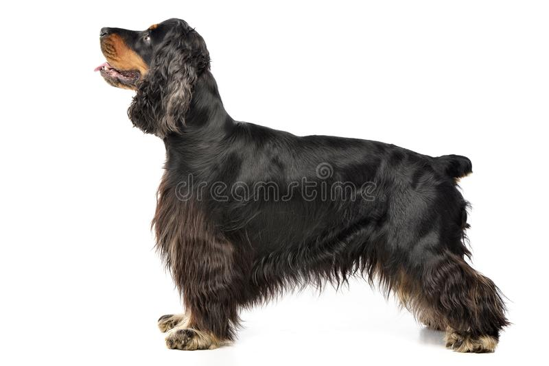 Studio shot of an adorable English Cocker Spaniel. Standing on white background stock image