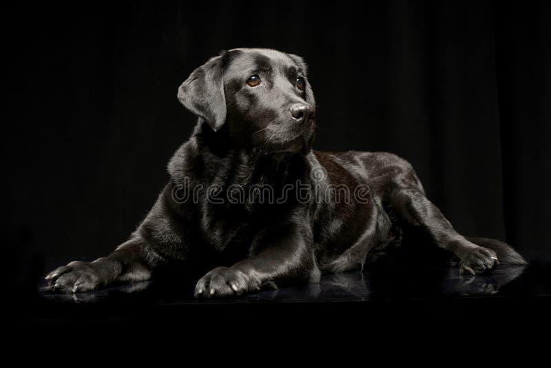 Studio shot of an adorable Labrador retriever stock image