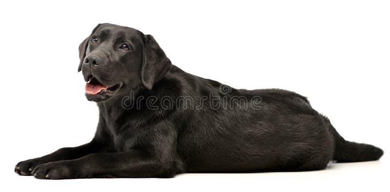Studio shot of an adorable Labrador retriever stock photography