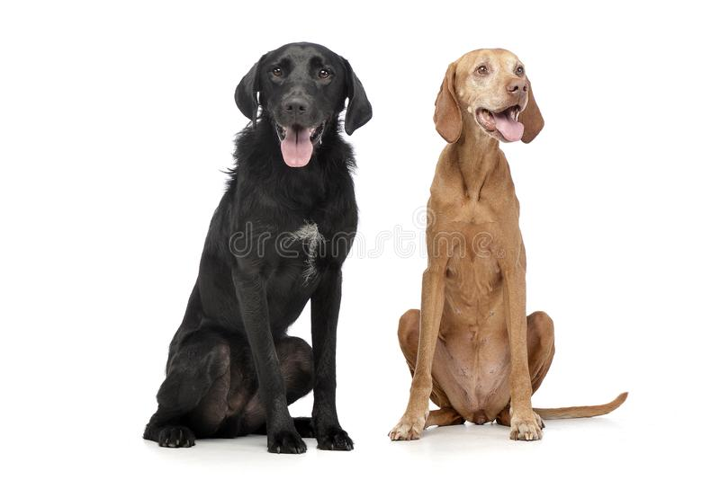 Studio shot of an adorable mixed breed dog and a Hungarian vizsla royalty free stock photography