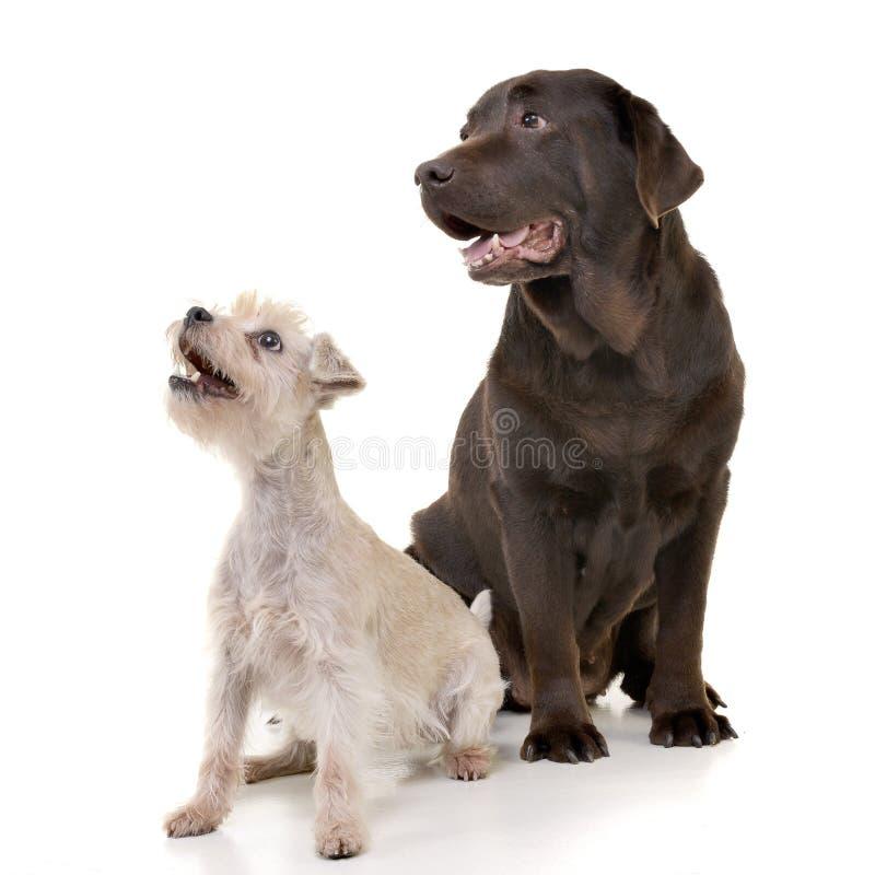 Studio shot of an adorable mixed breed dog and a Labrador retriever stock photos