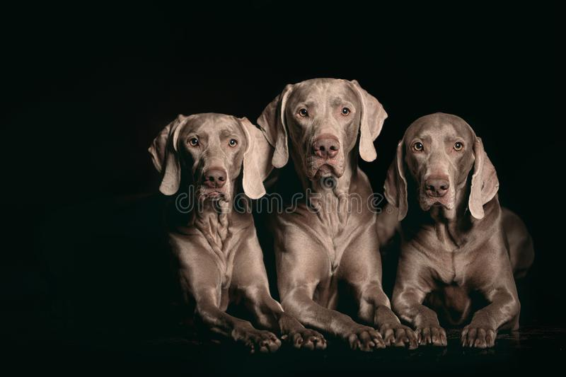 Studio shot of an adorable Weimaraner lying on black background. royalty free stock photo