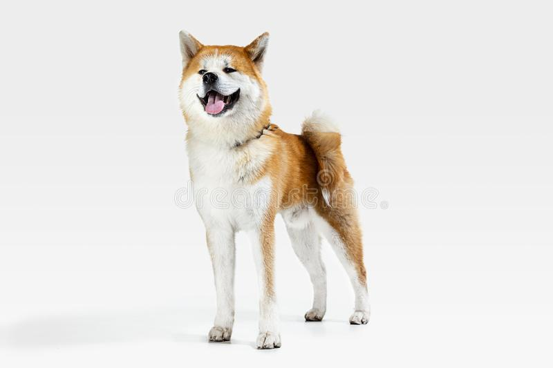 Studio shot of Akita-Inu dog isolated on white studio background. Akita-Inu young dog is posing. Cute white-braun doggy or pet is standing and looking happy royalty free stock photos