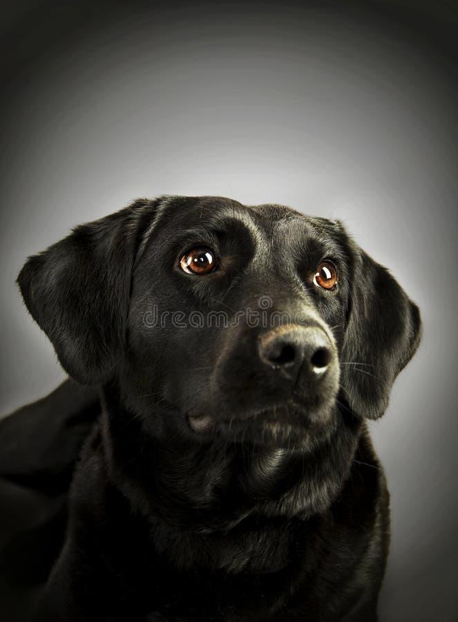 Studio Shot of Black Labrador royalty free stock image