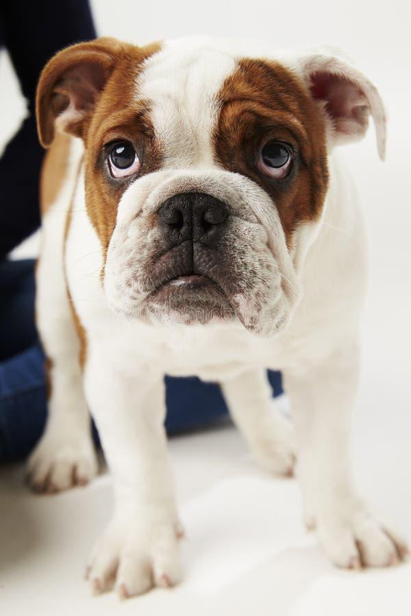 Studio Shot Of British Bulldog Puppy Standing On White Background stock image