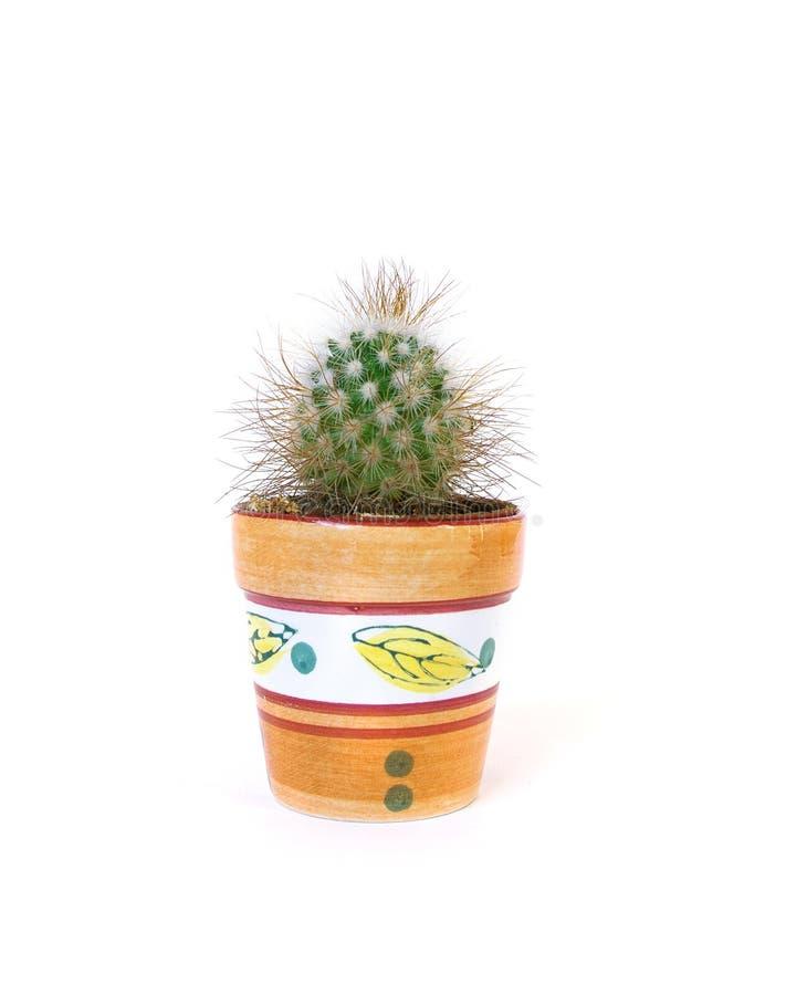 Download Studio shot cactus stock image. Image of white, stinging - 7454417
