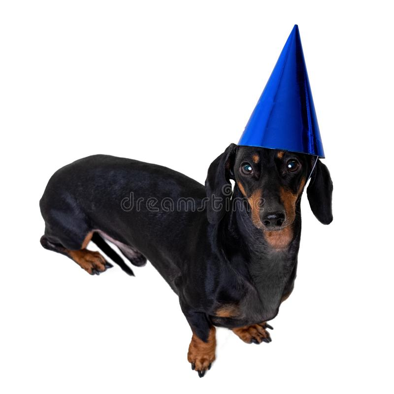 A studio shot of a dog dog puppy of the dachshund breed, black and tan, wearing a blue party a happy birthday hat isolated on wh. Ite background stock photos