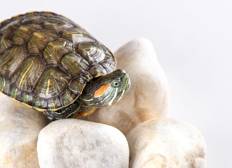 Studio shot of a little red-eared turtle  sitting on white stones stock photo