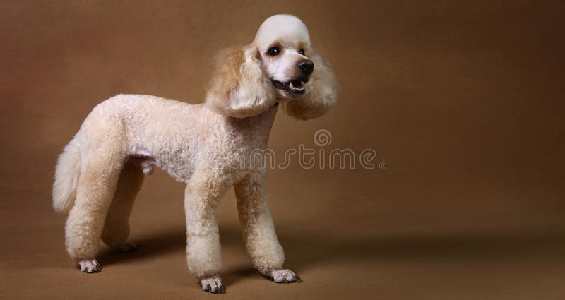 Studio shot of miniature poodle dog on brown background. Portrait of miniature white poodle dog sitting on brown background in studio looking at camera royalty free stock photos