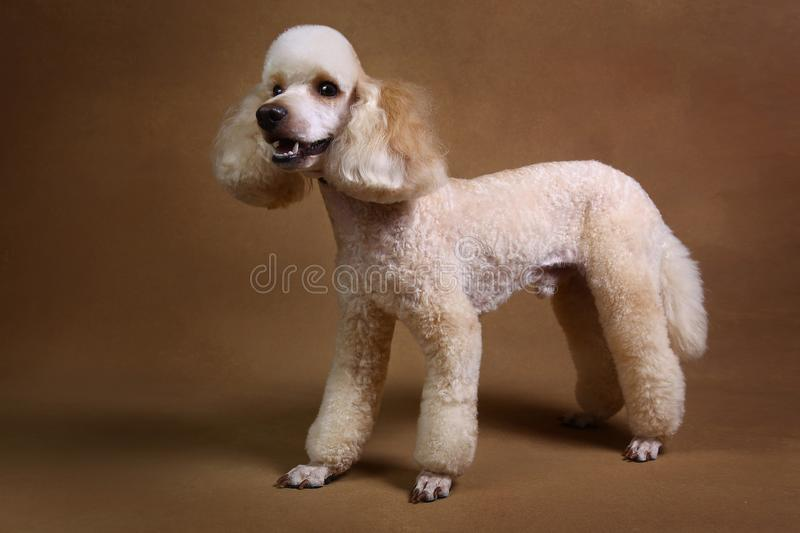Studio shot of miniature poodle dog on brown background. Portrait of miniature white poodle dog sitting on brown background in studio looking at camera stock images