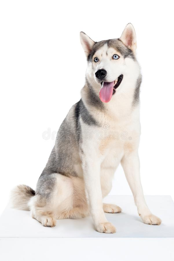 Free Studio Shot Of Siberian Husky Dog, Royalty Free Stock Photos - 120690498