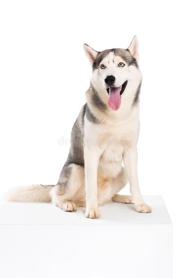 Free Studio Shot Of Siberian Husky Dog, Stock Photos - 120690513
