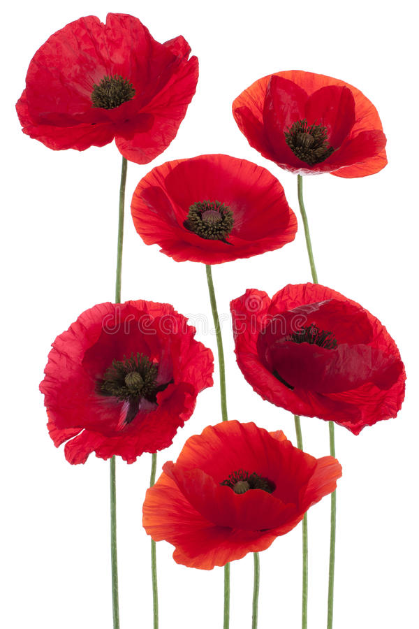 Poppy. Studio Shot of Red Colored Poppy Flowers Isolated on White Background. Large Depth of Field (DOF). Macro. National Flower of Beldium and Poland stock images