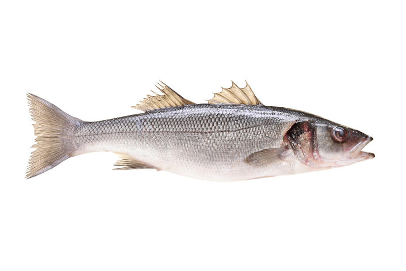 Studio shot of a sea bass fish. A studio shot of a sea bass fish isolated on white background royalty free stock image