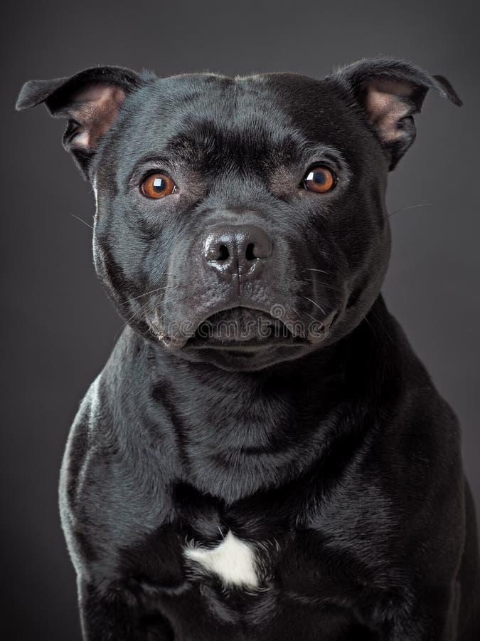 Stafordsire bull terrier. Studio shot stafordshire bull terrier stock photo