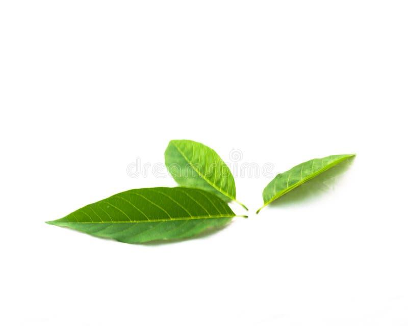 Studio shot three fresh green sugar-apple leaves isolated on white royalty free stock image