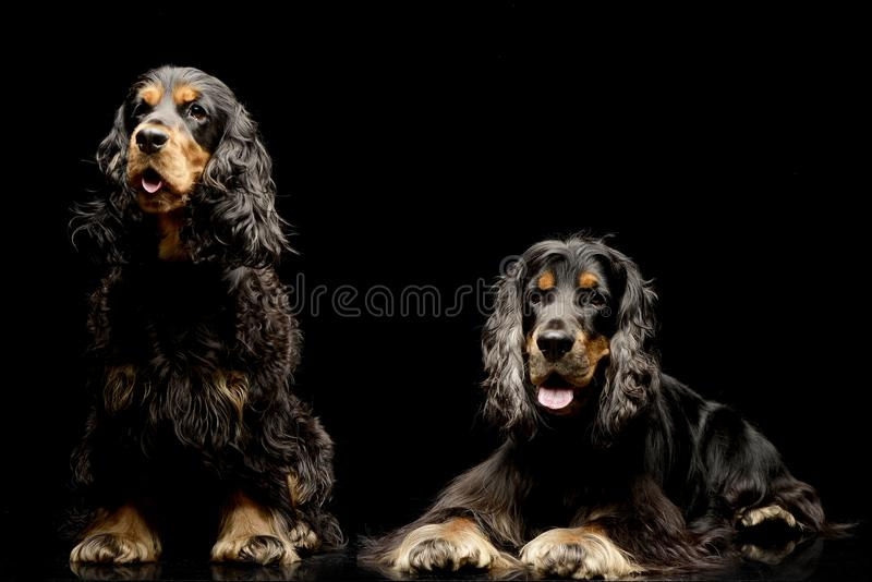 Studio shot of two adorable English Cocker Spaniel. Isolated on black stock photography
