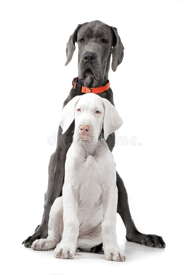 Studio shot of two adorable Great Dane. Sitting on white background royalty free stock photo