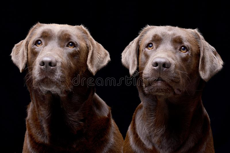 Studio shot of two adorable Labrador retriever royalty free stock images