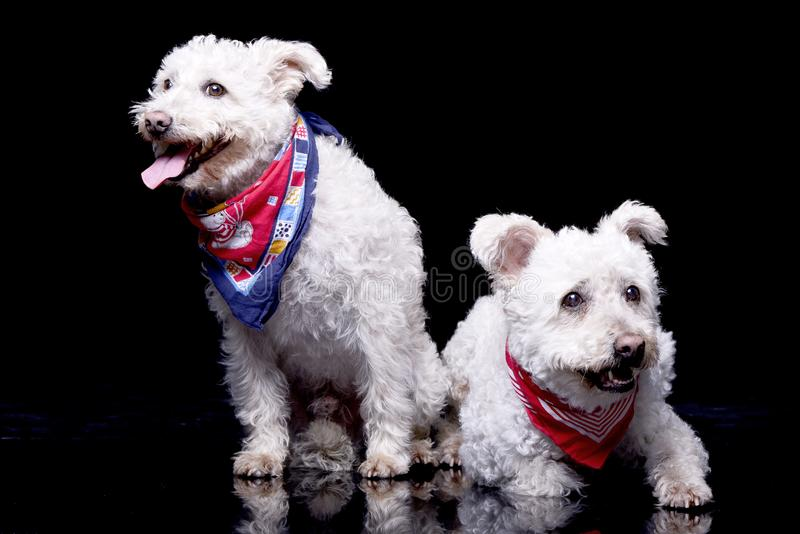 Studio shot of two adorable Poodle royalty free stock image