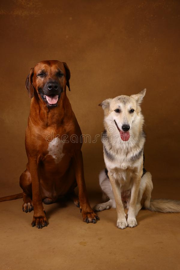 Studio shot of a two dogs sitting on brown Background. Front view at two dogs Rhodesian Ridgeback Dog and a shepherd sitting on brown background in studio and royalty free stock images