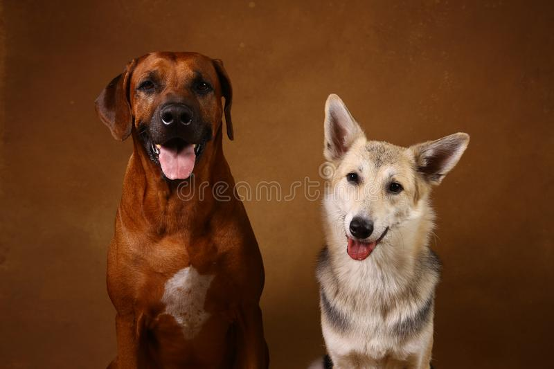 Studio shot of a two dogs sitting on brown Background. Front view at two dogs Rhodesian Ridgeback Dog and a shepherd sitting on brown background in studio and stock photos
