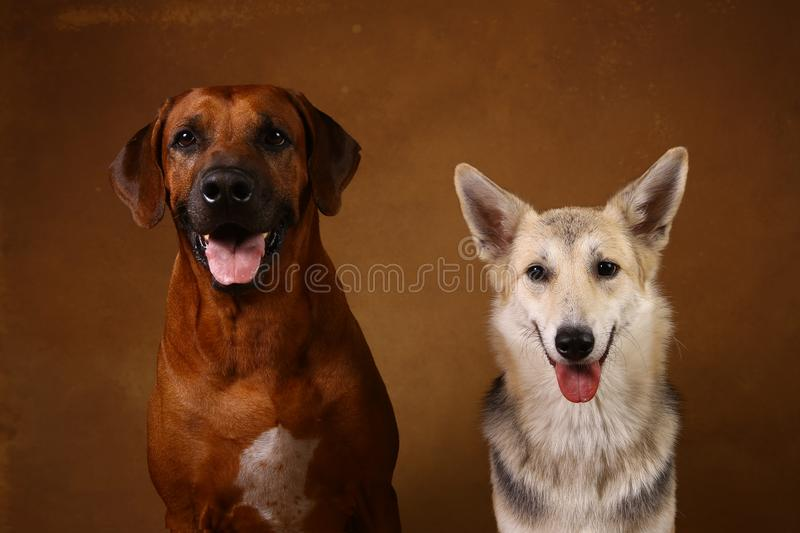 Studio shot of a two dogs sitting on brown Background. Front view at two dogs Rhodesian Ridgeback Dog and a shepherd sitting on brown background in studio and royalty free stock photo