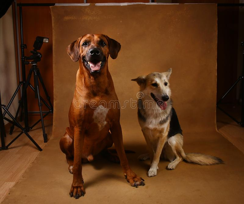 Studio shot of a two dogs sitting on brown Background. Front view at two dogs Rhodesian Ridgeback Dog and a shepherd sitting on brown background in studio and stock photo