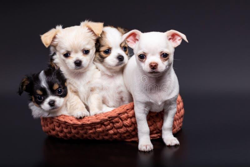 Studio sparato dei cuccioli differenti di una chihuahua in canestro tricottato su fondo scuro immagine stock