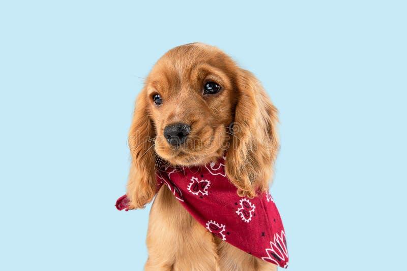 Studio strzał angielski Cocker spaniel pies odizolowywający na błękitnym pracownianym tle fotografia stock