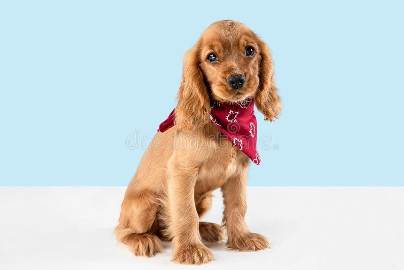 Studio strzał angielski Cocker spaniel pies odizolowywający na błękitnym pracownianym tle obraz stock