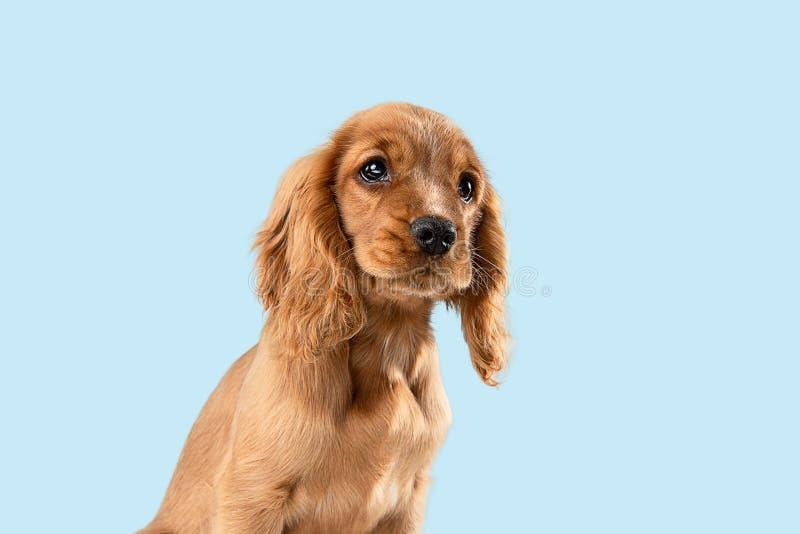 Studio strzał angielski Cocker spaniel pies odizolowywający na błękitnym pracownianym tle obrazy stock
